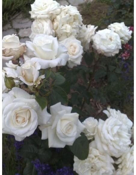 białe róże wielkokwiatowe Annapurna