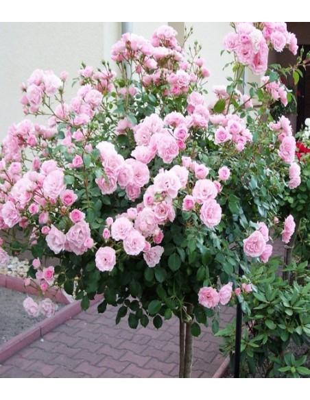 roza bonica 82