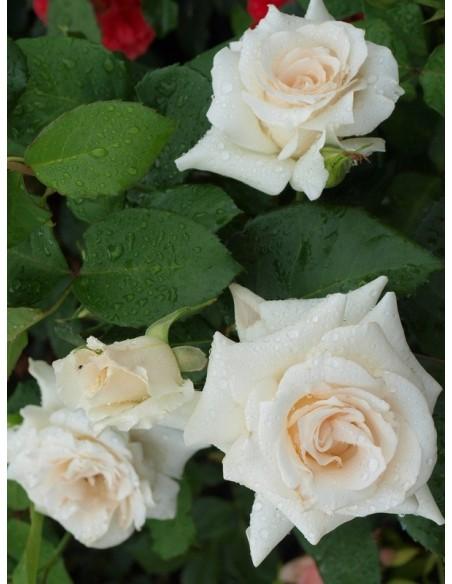 róże wielkokwiatowe Annapurna