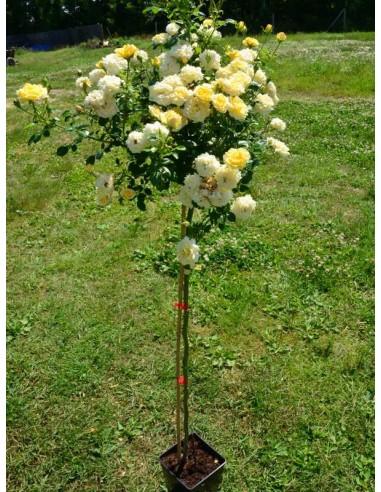 Yellow Fairy pienne róże