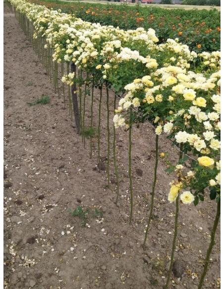pienne róże Yellow Fairy