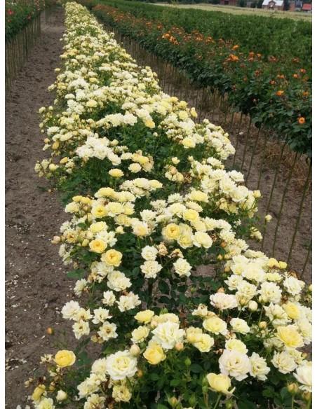 róże pienne Yellow Fairy
