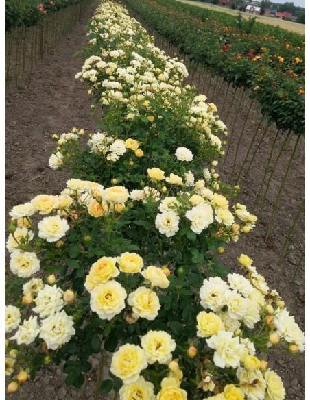 Yellow Fairy róże pienne