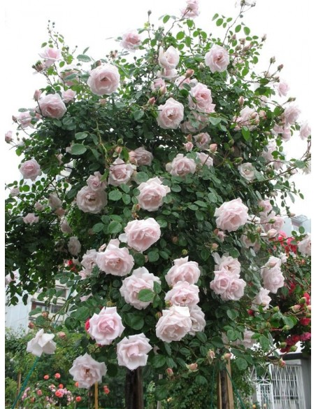 New Dawn róże pienne