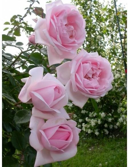 róże pienne New Dawn