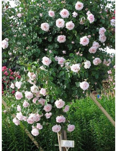 New Dawn różowe róże pienne