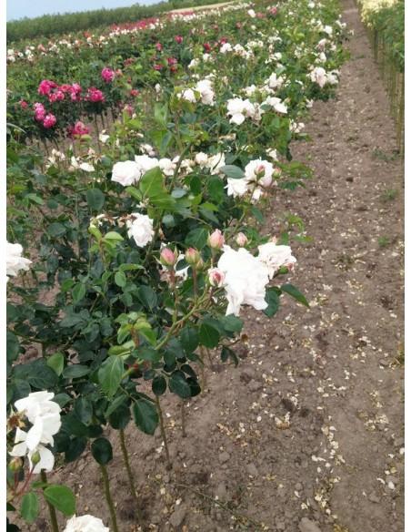 różowe róże pienne New Dawn