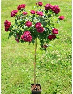 cardinal hume róże pienne