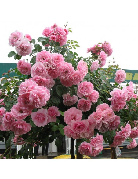 róża bonica 82