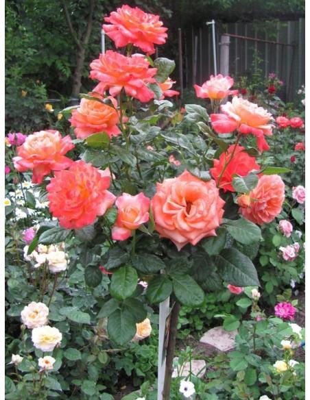 Samaritan pienne róże