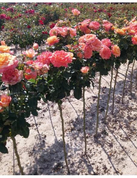 róże pienne Samaritan