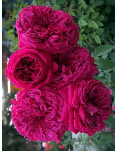 William Shakespeare róże pienne