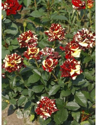 Ewenement wielobarwn róże pienne