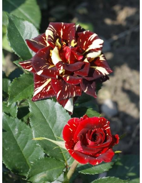 pienne róże wielobarwne Ewenement