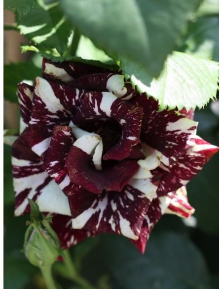 róże pienne wielobarwne Ewenement