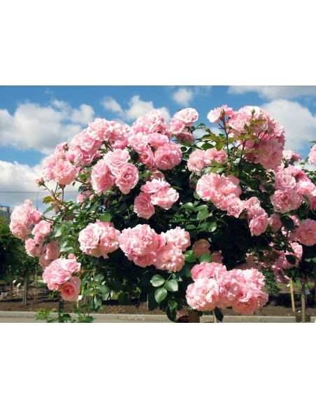 róża pienna Bonica 82