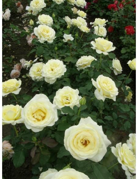 Elina róże wielkokwiatowe