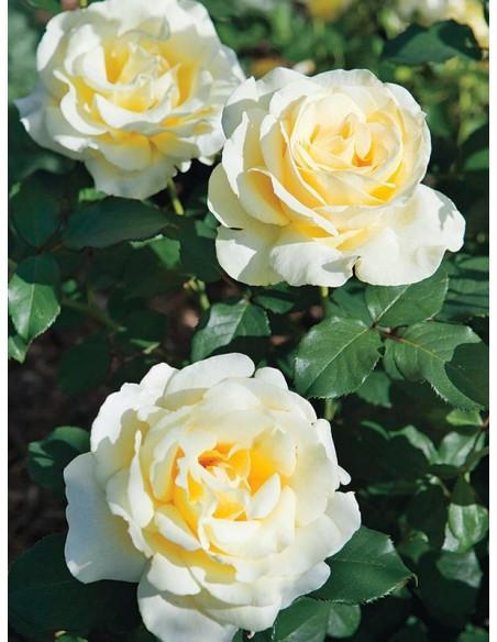 Elina żólte róże wielkokwiatowe