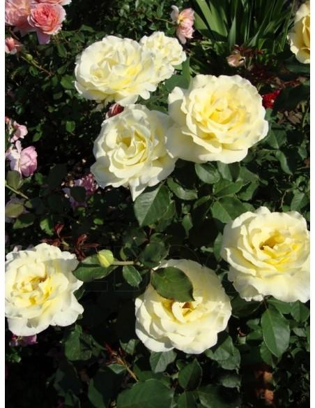 Elina róże wielkokwiatowe żółte