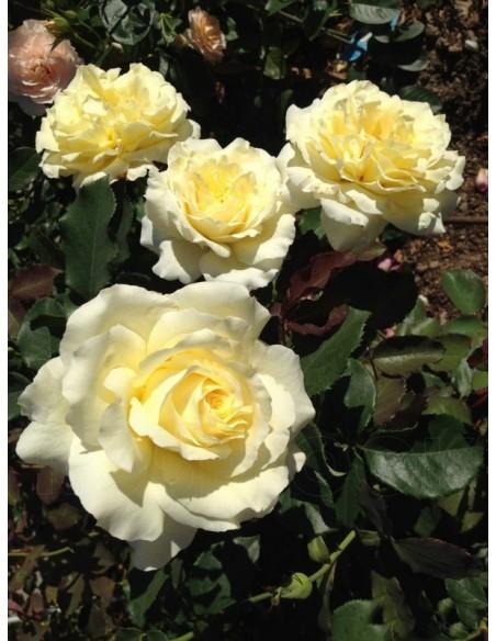 żółte róże wielkokwiatowe Elina