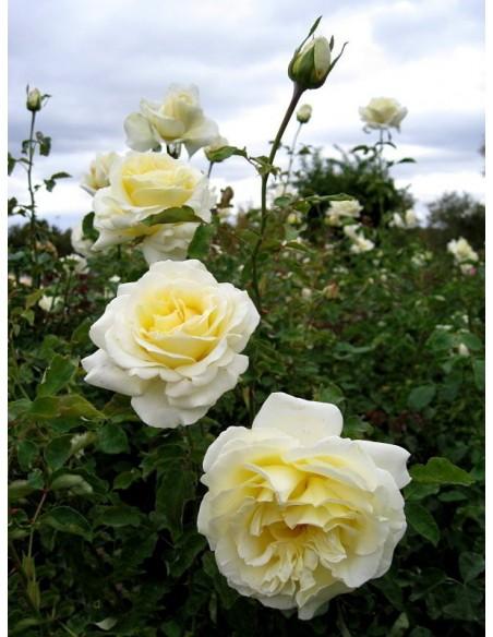 Elina wielkokwiatowe róże żółte