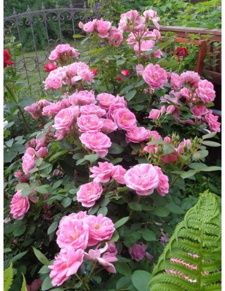 Prairie Joy róże kanadyjskie