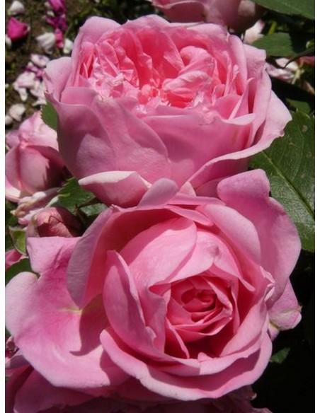 róże kanadyjskie Prairie Joy