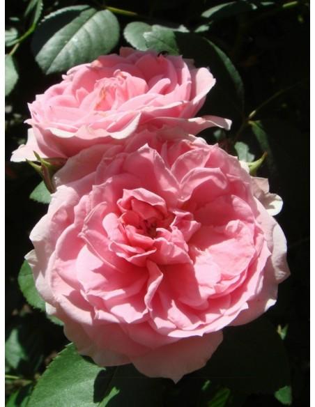 Prairie Joy kanadyjskie róże