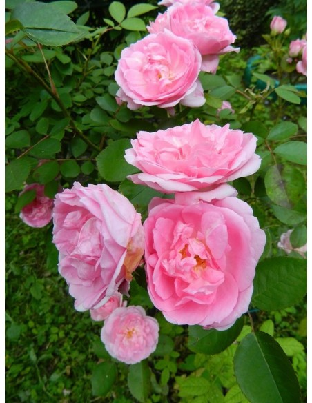 kanadyjskie róże Prairie Joy