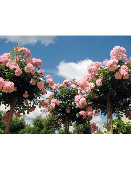 Bonica 82 róża pienna