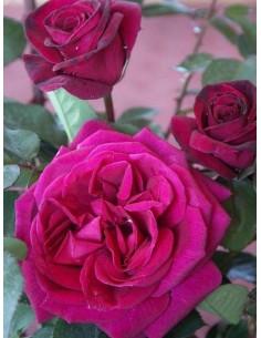 Blackberry Nip pachnące róże wielkokwiatowe