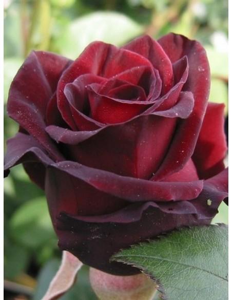 Black Prince czarne róże historyczne