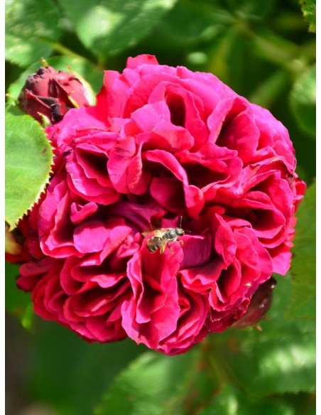 Black Prince róże historyczne
