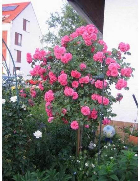 róża rosarium na pniu różowa