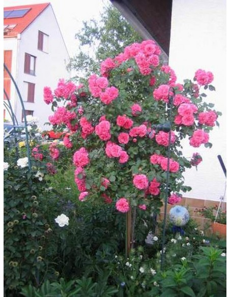 róża rosarita na pniu różowa