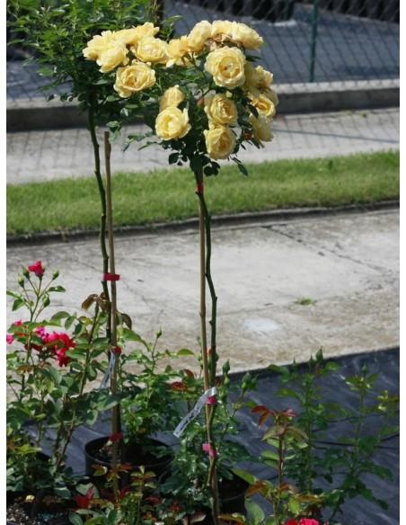 roze lososiowo-żółte pienne