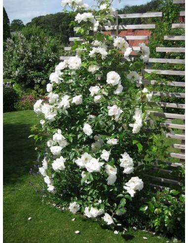 Schneewittchen Clb. róże pnące