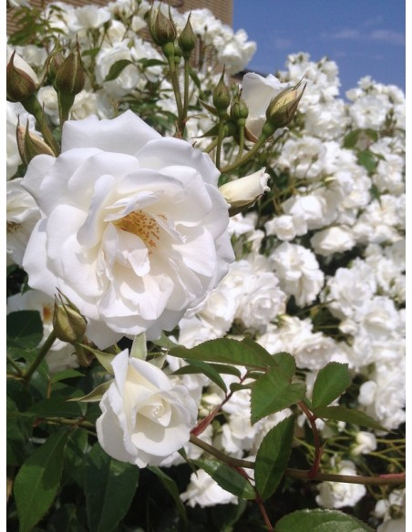 Schneewittchen Clb. białe róże pnące