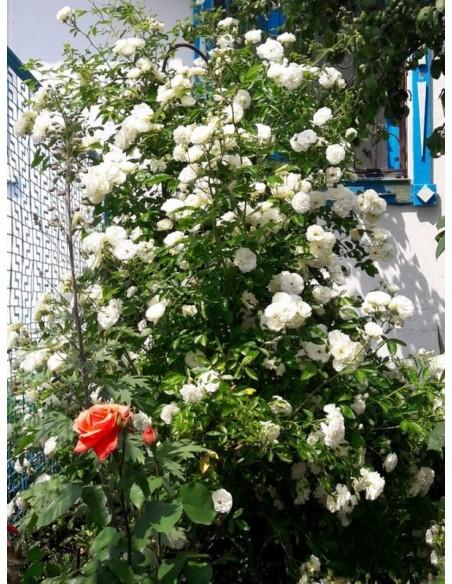 białe róże pnące Schneewittchen Clb