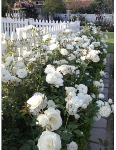 Schneewittchen róże rabatowe