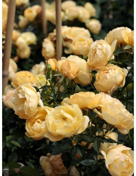 żółta róża pienna