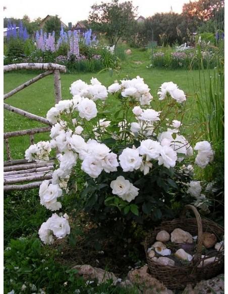 róże rabatowe Schneewittchen