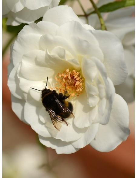 Schneewittchen białe róże rabatowe