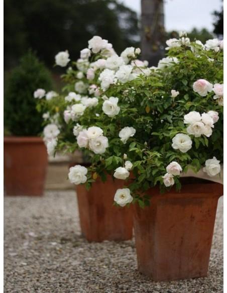 białe róże rabatowe Schneewittchen
