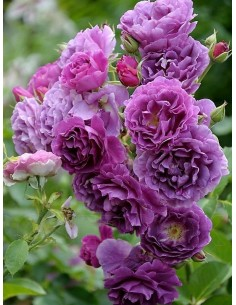 Minerva róze rabatowe niebieskie