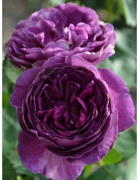Minerva niebieskie róże rabatowe