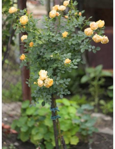 róże żółte pienne