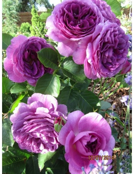 niebieskie róże rabatowe Minerva