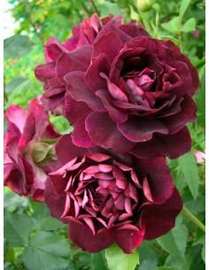 Burgundy Ice róże rabatowe