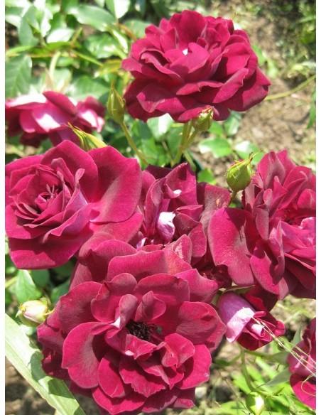Burgundy Ice rabatowe bordowe róże